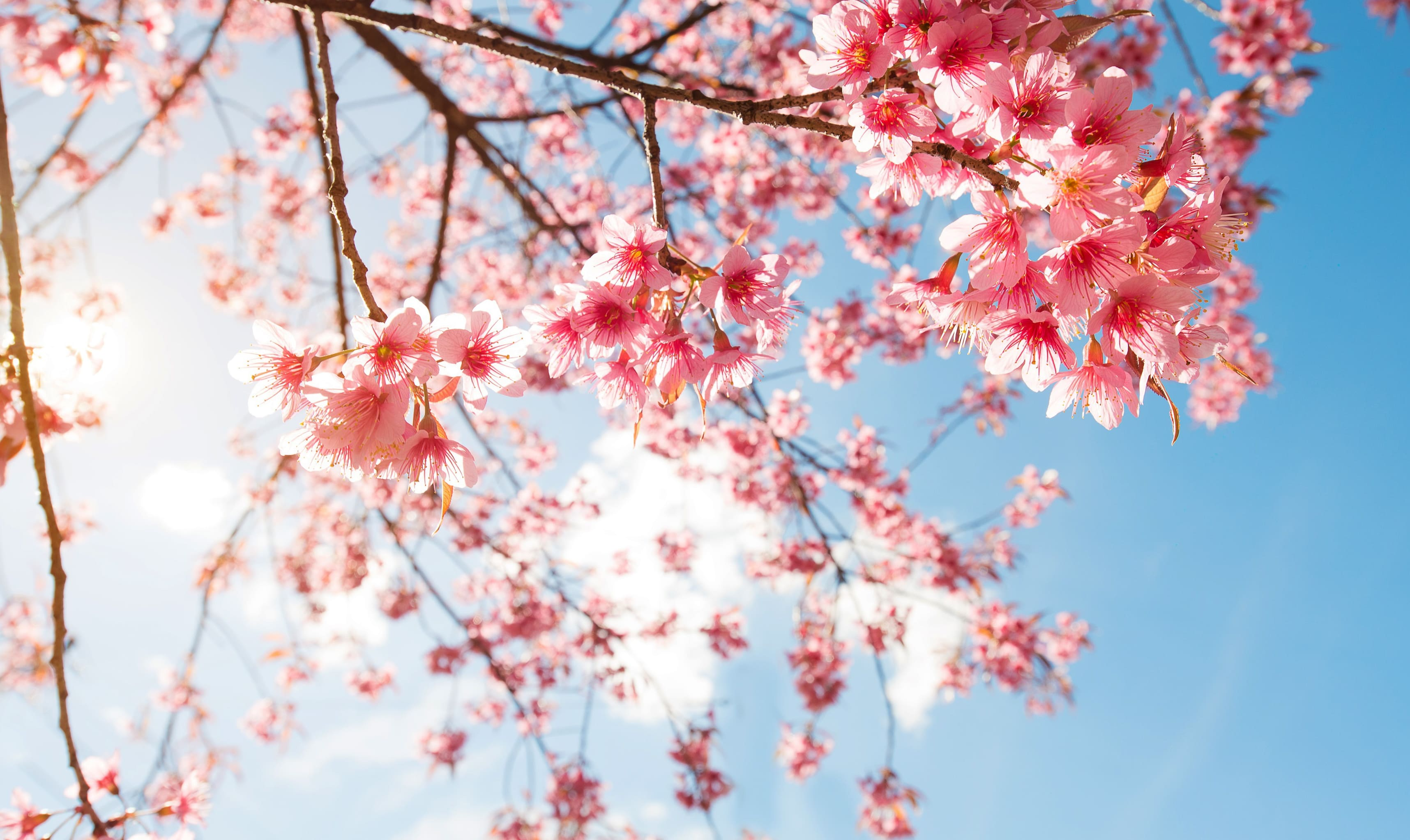 sakura-in-bloom-81