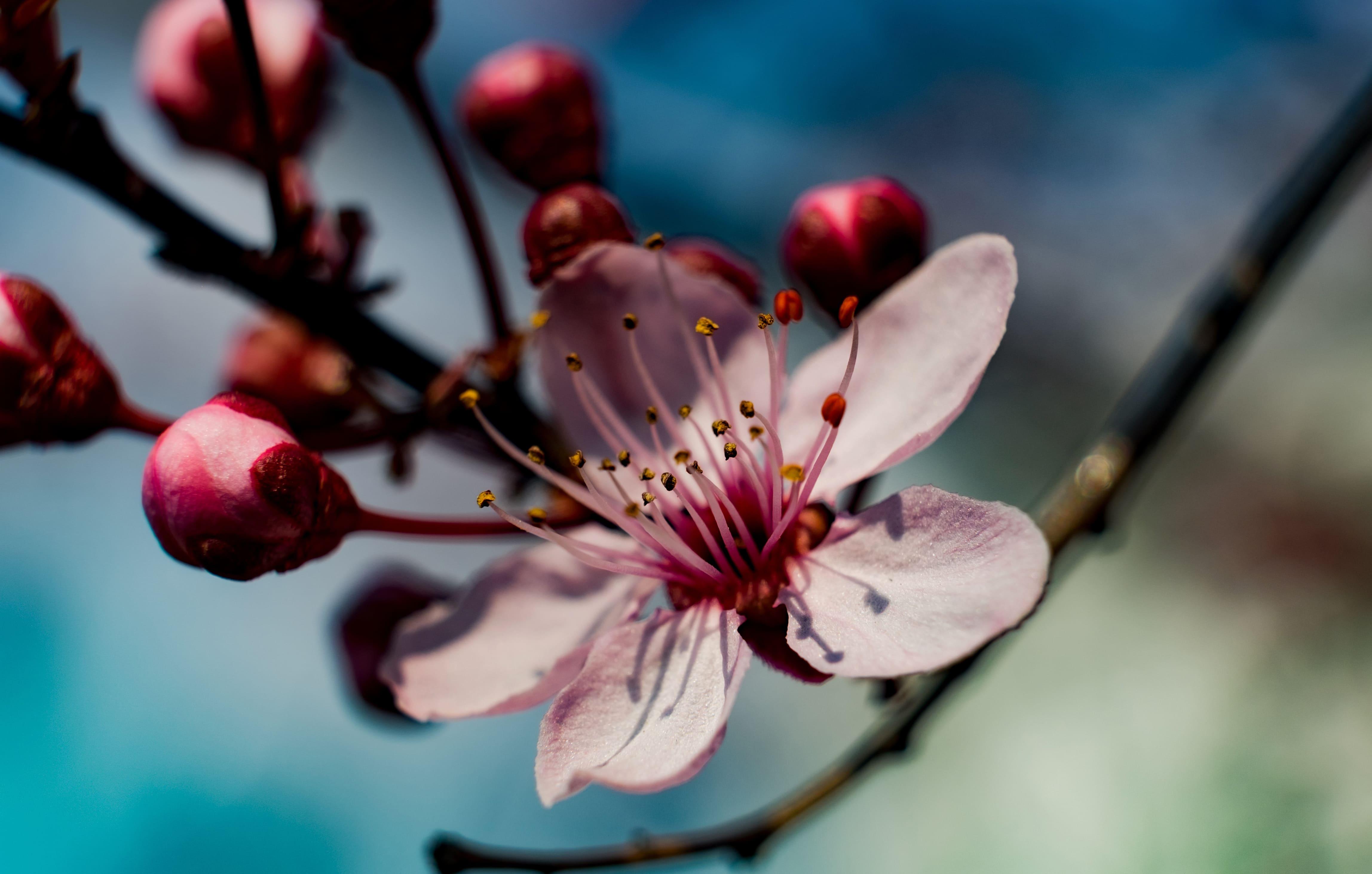 sakura-in-bloom-86