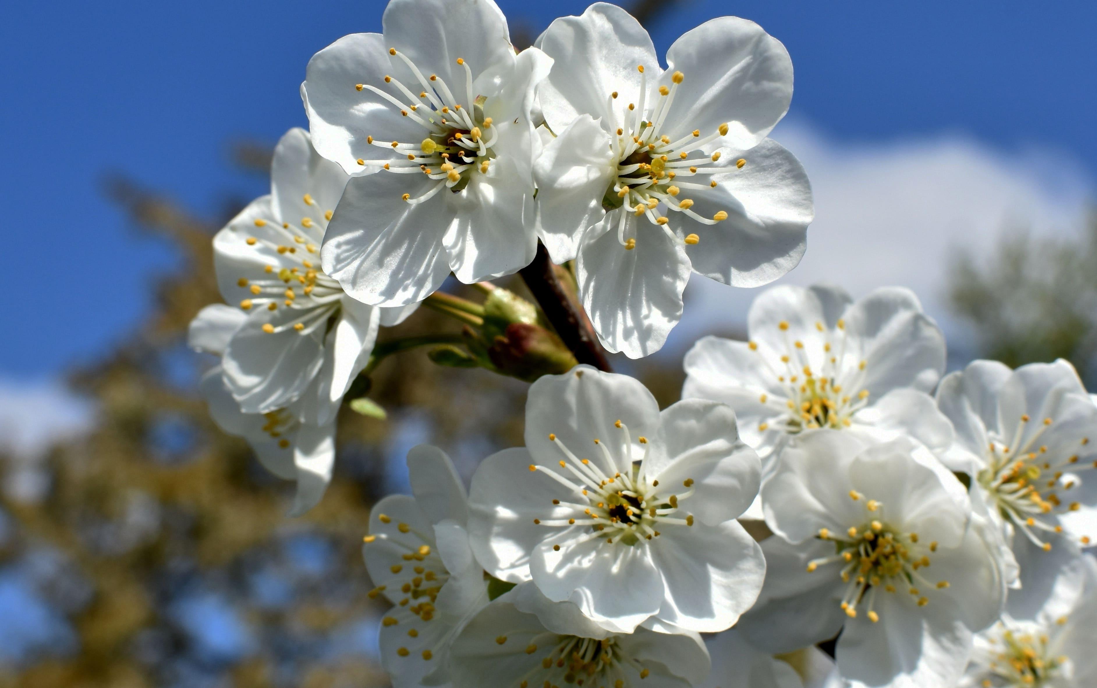 sakura-in-bloom-87