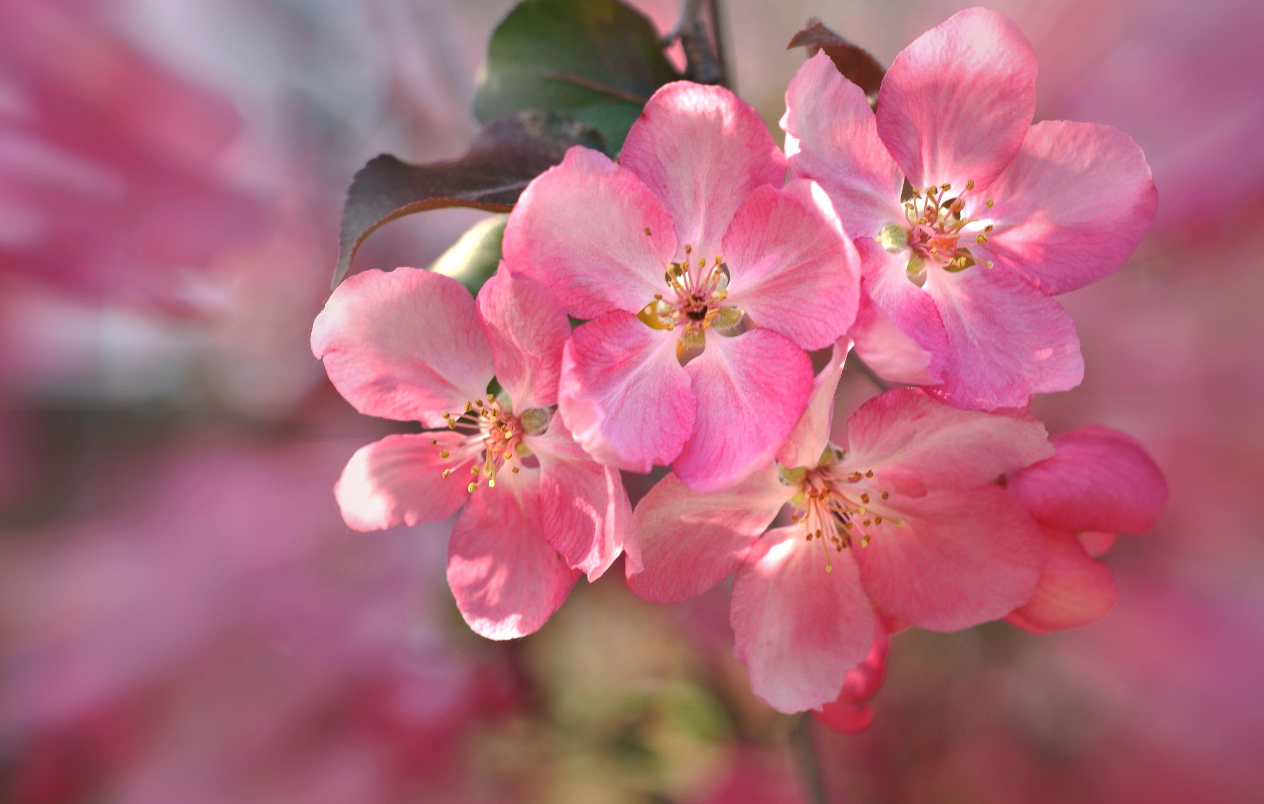 sakura-in-bloom-88