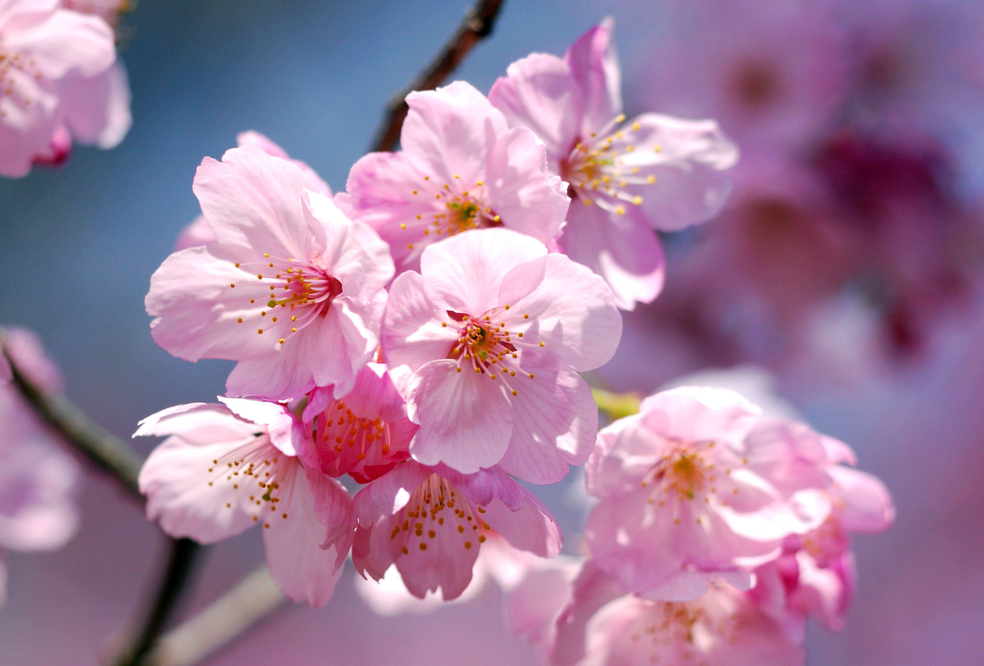 sakura-in-bloom-90
