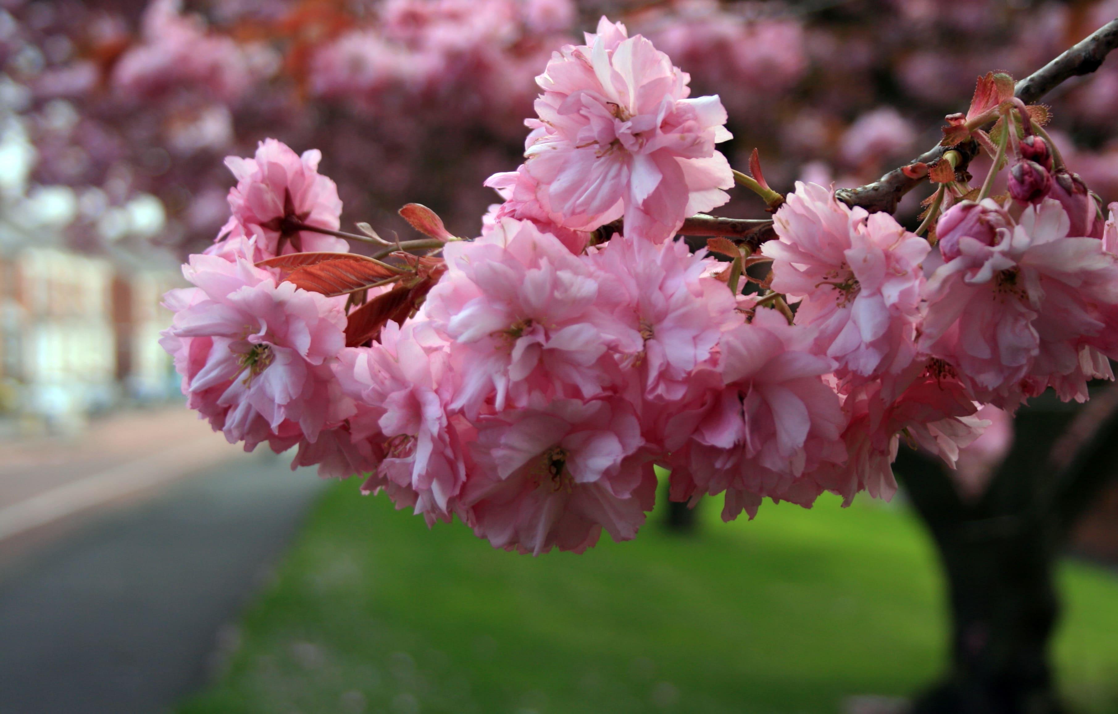 sakura-in-bloom-91