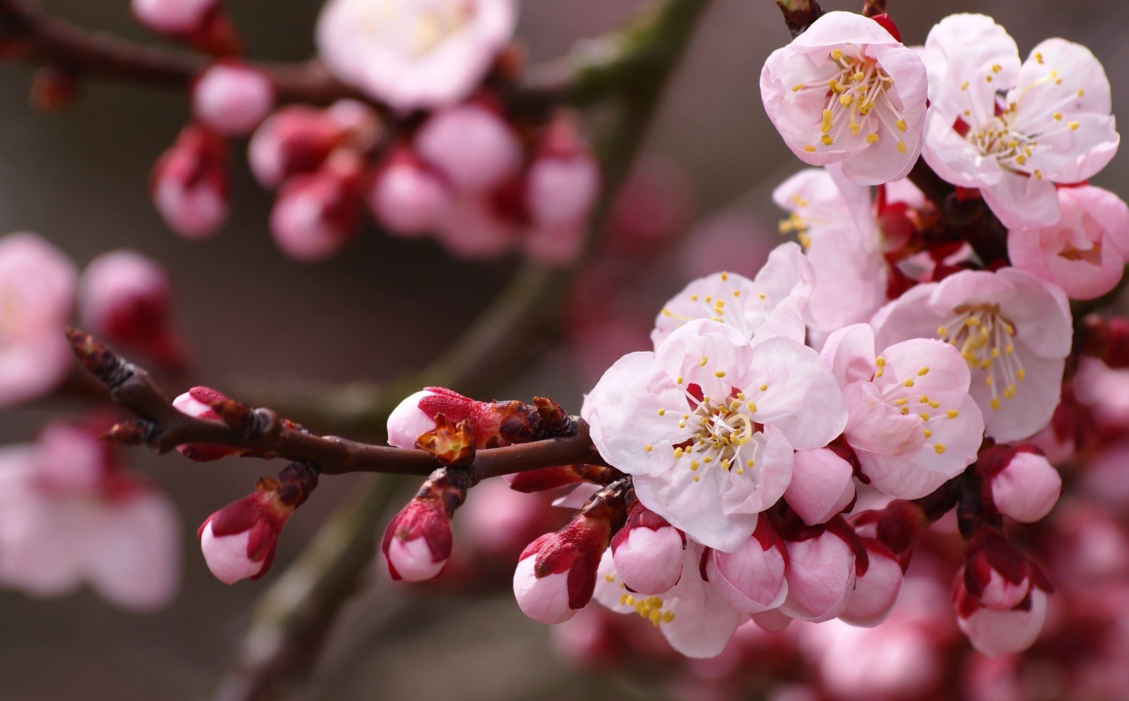 sakura-in-bloom-92