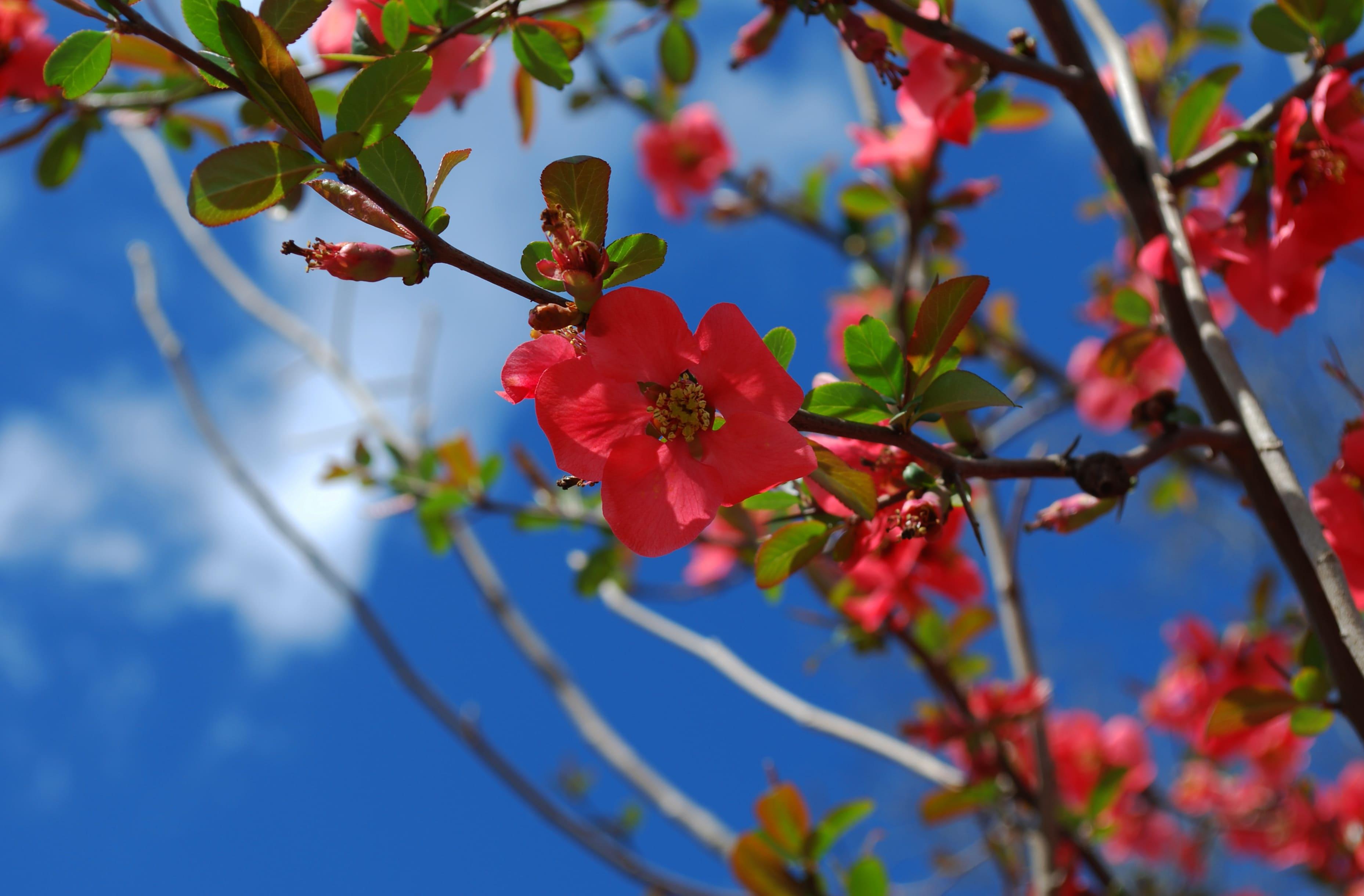 sakura-in-bloom-93