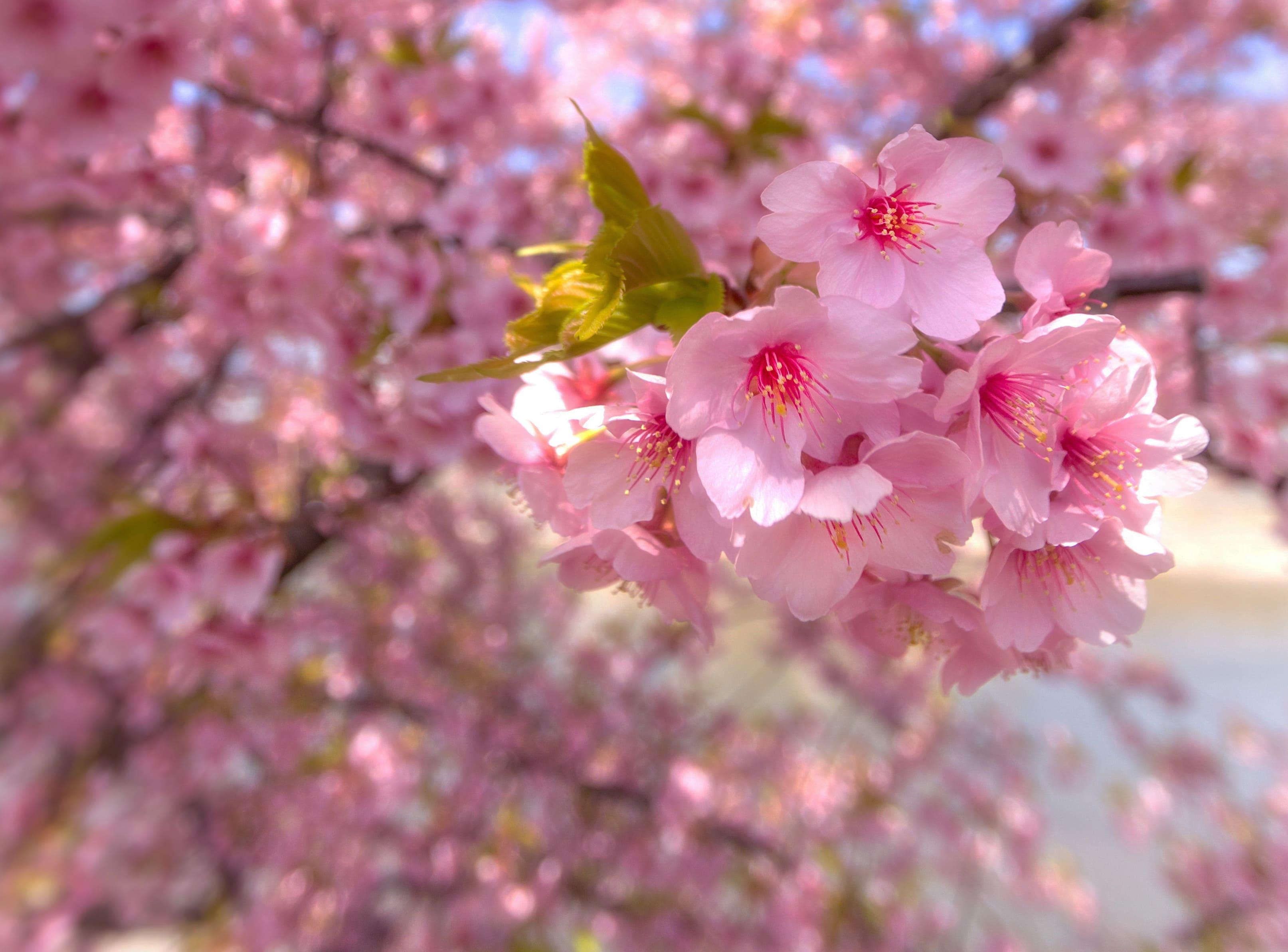 sakura-in-bloom-95