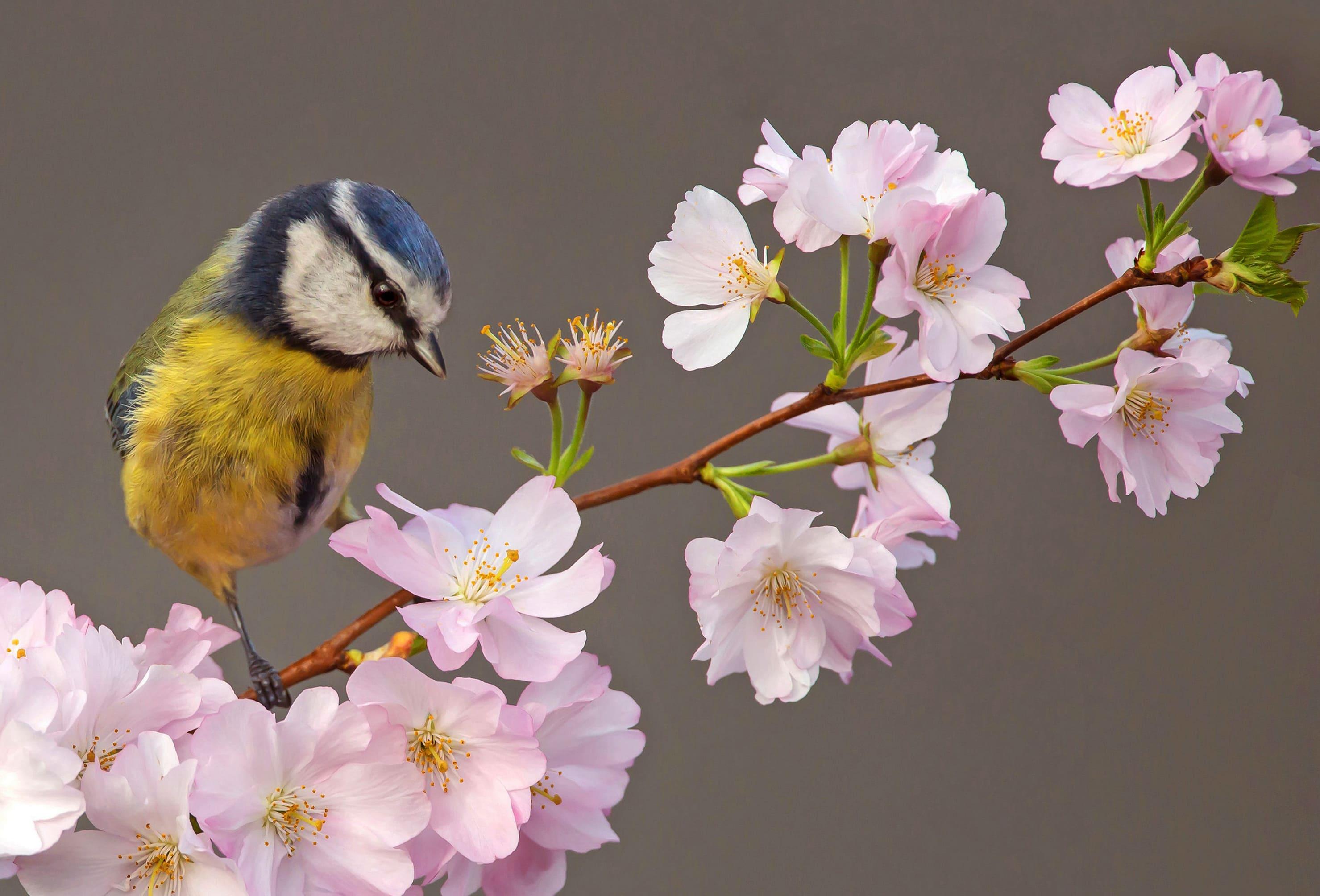 sakura-in-bloom-97