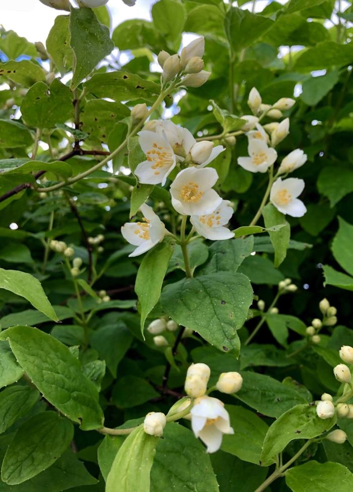 ジャスミンの美しい写真 — 咲いているジャスミンの100枚の画像