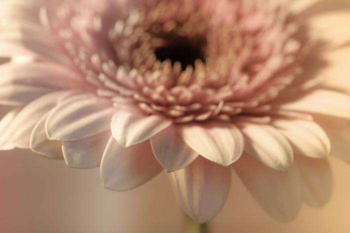 Schönes Foto von Gerberas - 111 kostenlose hochauflösende Bilder