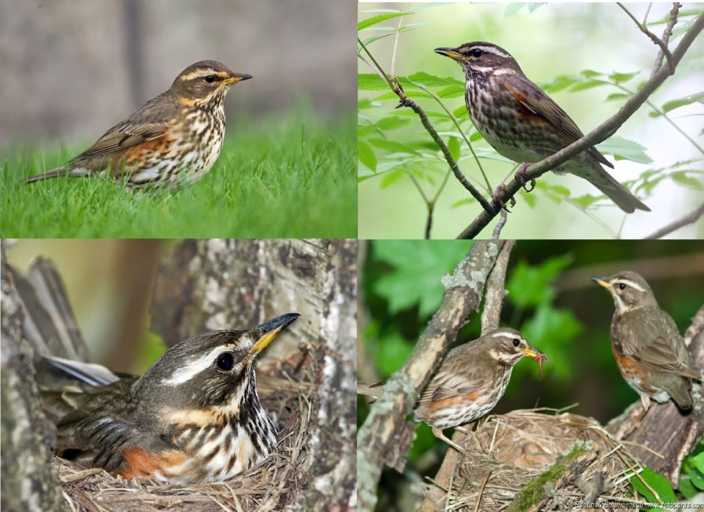 Photos of All Migratory Birds With Detailed Descriptions